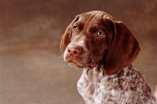 German-shorthaired-pointer-dogs-puppies-2